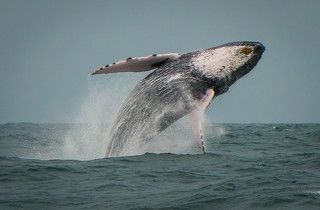 Whale jump in Dominican Republic